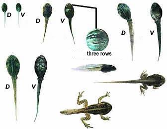 http://www.whose-tadpole.de/images/moorlarven1.jpg