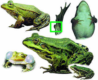 Green frog complex
